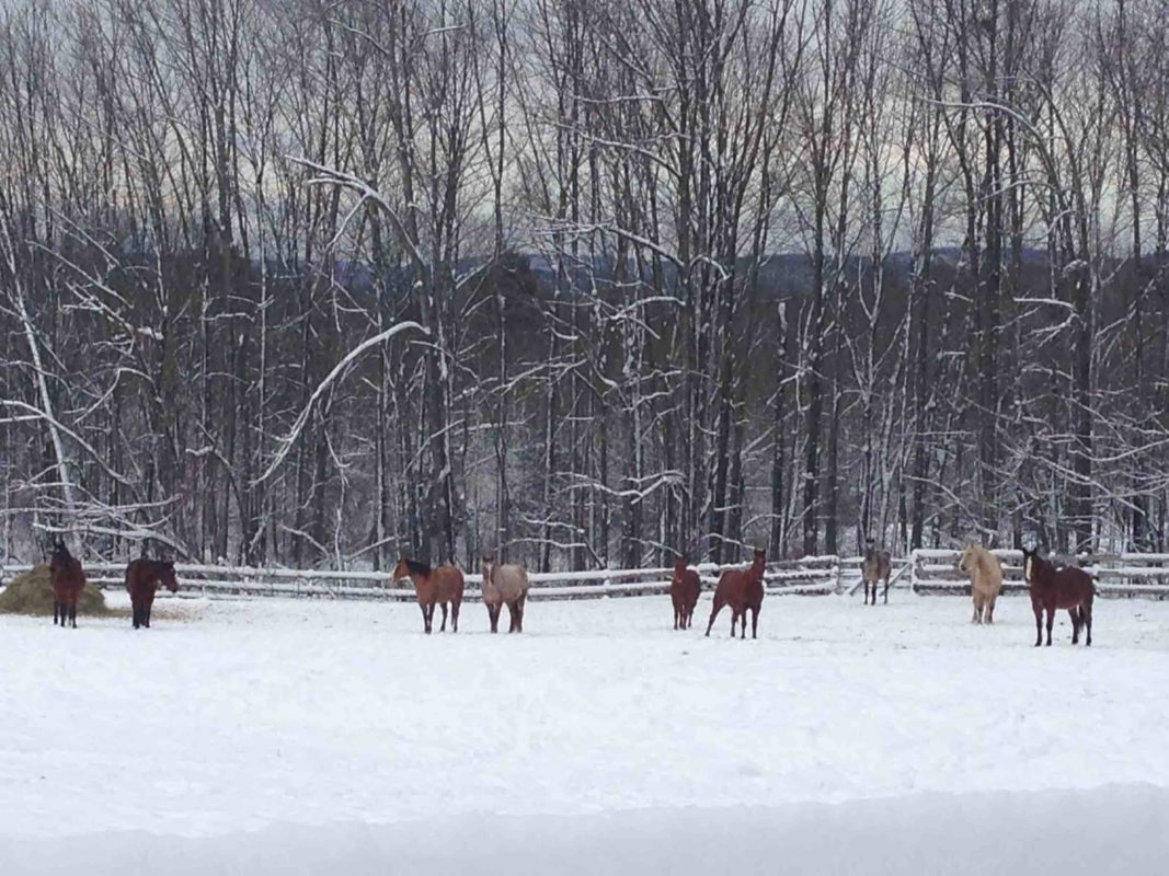 Long shot of horses in snow covered field with tall trees in background