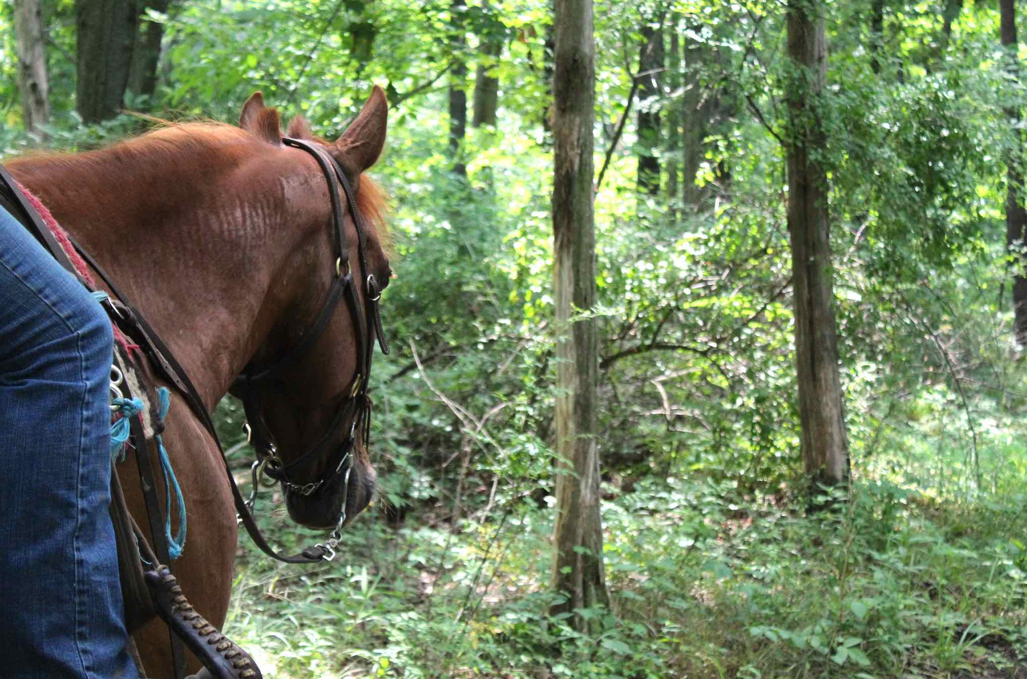 view from side of horse seeing just horse face and looking into woods on trail